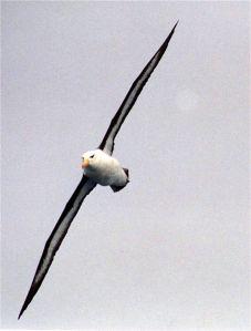 Black-browed_Albatross_at_south_georgia